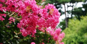 Lagerstroemia indica o Lillà delle Indie