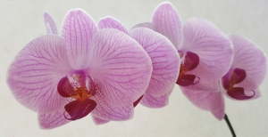 Orchidea: come curarla