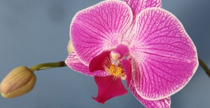 Come bagnare le orchidee Phalaenopsis