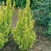 Berberis THUNBERGII 'GOLDEN TORCH' ®
