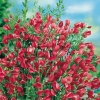 Cytisus SCOPARIUS 'BOSKOOP RUBY'