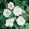 Hibiscus SYRIACUS 'WILLIAM R. SMITH' a fiori semplici