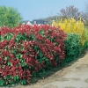Photinia x FRASERI 'RED ROBIN' in siepe mista