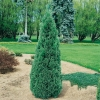 Thuja OCCIDENTALIS 'EMERAUDE' (SMARAGD')