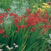 Crocosmia Ibridi 'James Coey'