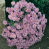 Aster 'Lilac Time'