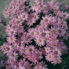 Aster amellus 'Lady Hindlip'