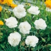 Dianthus 'White Reserve'