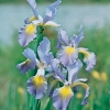 Iris spuria 'Port of Call'