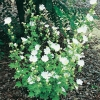 Lavatera Ibrido 'Ice Cool'