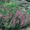 Salvia officinalis in fioritura
