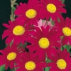 Tanacetum 'Robinson's Red'