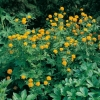 Trollius 'Orange Globe'
