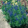 Veronica 'Royal Blue' ('Königblau')