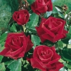 Rosa LE GRAND HUIT ®  'Adharman'