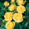 Rosa 'YELLOW HAMMER'