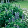 Lupinus 'Le Gentilhomme' ('The Governor')