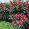 Rosa CHERRY MEILLANDECOR® 'Meirumour'
