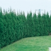 Thuja OCCIDENTALIS 'EMERAUDE' siepe
