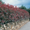Photinia x FRASERI 'RED ROBIN' in siepe