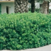 Pittosporum TOBIRA siepe