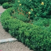 Buxus SEMPERVIRENS 'SUFFRUTICOSA' in siepe