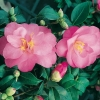 Camellia JAPONICA 'Daintiness'