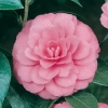 Camellia JAPONICA 'Water Lily'