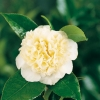 Camellia JAPONICA 'Jury's Yellow'
