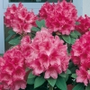 Rododendro 'Anna Rose Whitney'