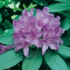 Rododendro 'Catawbiense'