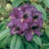 Rododendro 'Purple Splendour'