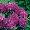 Rododendro 'Red Eye'
