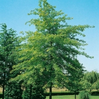 Quercus PALUSTRIS