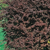 Berberis THUNBERGII 'ATROPURPUREA'