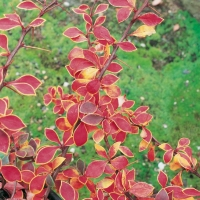 Berberis THUNBERGII 'CORONITA'