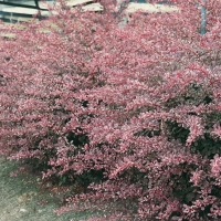 Berberis THUNBERGII 'HARLEQUIN'