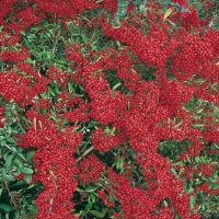 Pyracantha SAPHYR ROUGE<sup>®</sup> 'Cadrou'