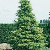 Cedrus DEODARA 'KELLY GOLD'