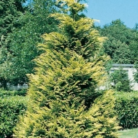 Chamaecyparis LAWSONIANA 'LANE' (LANEI)
