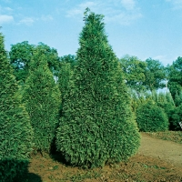 Chamaecyparis LAWSONIANA 'POTTENII'