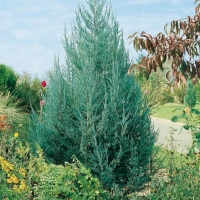 Juniperus VIRGINIANA 'Blue Haven'