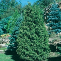 Thuja OCCIDENTALIS (Thuja del Canada)