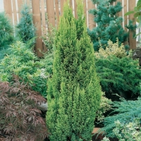 Chamaecyparis LAWSONIANA 'ELLWOOD'S GOLD'