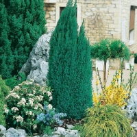 Chamaecyparis LAWSONIANA 'ELLWOOD'S PILLAR<sup>®</sup> 'Flolar'