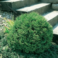 Thuja OCCIDENTALIS 'TINY TIM'