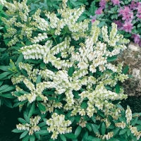 Pieris 'DEBUTANTE'