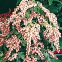 Pieris JAPONICA 'CHRISTMAS CHEER'