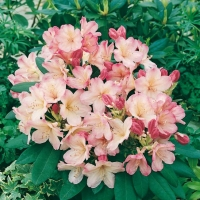 Rhododendron 'PERCY WISEMAN'