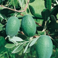 Acca (Feijoa) SELLOWIANA